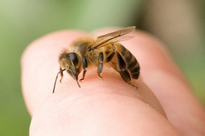 Bee resting on finger